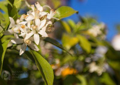 Orange blossom in the springtime